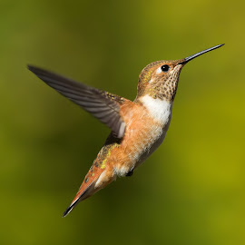 Rufus Hummingbird by Sheldon Bilsker - Animals Birds ( bird, park, nature, hummingbird, animal )