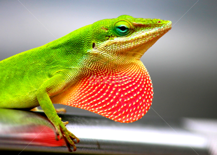 Lizzy 1 by Terri W - Animals Reptiles ( lizard, color, green, reptile,  )