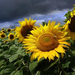 Sun Flower and Storm by Daliana Pacuraru - Flowers Flower Gardens ( field flower, sun flower, yellow, storm, sun flowers, yellow flower, Hope,  )