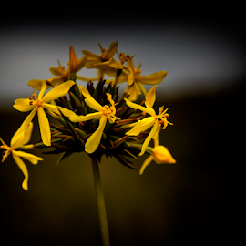 Gold & Wild by Clive Wright - Nature Up Close Other plants ( wild, gold, yellow, buds, flower )
