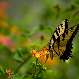 by Michael Provenzano - Animals Insects & Spiders ( butterfly, nature, nature up close, flowers, insect )