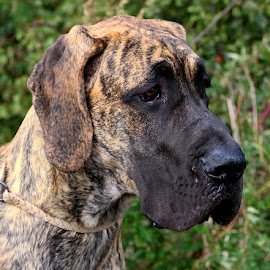 Jacob by Chrissie Barrow - Animals - Dogs Puppies ( jowels, pet, brindle, ears, puppy, dog, nose, black, portrait, great dane, eyes )