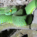 Large-eyed Green Pit Viper