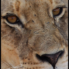 Landrover in both eyes by Romano Volker - Animals Lions, Tigers & Big Cats