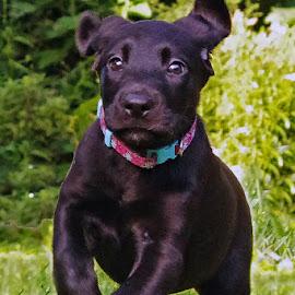Run Zella Run! by Jenny Gandert - Animals - Dogs Puppies ( adorable, puppy, cute, run, labrador )