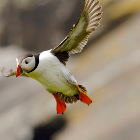 by James Blyth Currie - Animals Birds ( wales, pembrokeshire, skomer island, arctic puffin, sigma150-500mm )