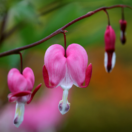 Bleeding hearts by Nikola Vlahov - Flowers Flower Gardens ( lamprocapnos spectabilis, dutchman's breeches, nature, bleeding heart, lady-in-a-bath, bokeh, garden, lyre flower )