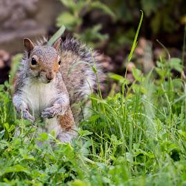 Squrrel by Dan Stelian Sala - Animals Other Mammals (  )