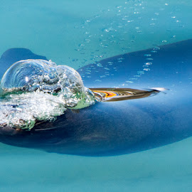 Cape Fur Seal by Deon Warrington - Animals Sea Creatures ( seals, cape, fur, capetown, atlantic )