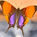 Purple-stained Daggerwing  Butterfly