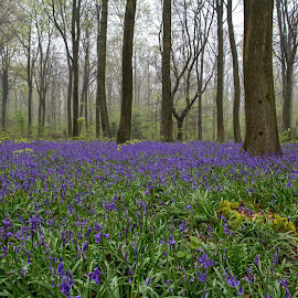 Spring Bluebells by Mike Maxfield - Landscapes Forests