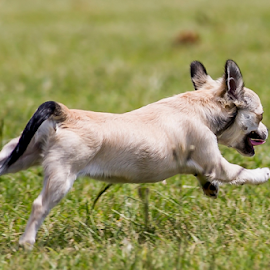 See how she runs by Peter de Groot - Animals - Dogs Running ( pdgpix, grass, fast, run, dog, small )
