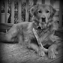 Max by Todd Hostetter - Animals - Dogs Portraits ( t hostetter photography, pet, hunting dog, best friend, golden retreiver, dog, black and white, animal )