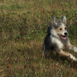 by Jacqui Sjonger - Animals - Dogs Running ( pet portrait, dog running, outdoor photography, pet, outdoors, dog portrait, dog playing, dog )