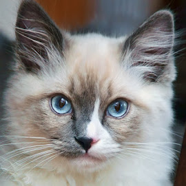 Blue Eyes by Luanne Bullard Everden - Animals - Cats Kittens ( cats, animals, pets, ragdolls, kittens,  )