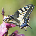 Common Yellow Swallowtail; Macaón