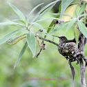 (Nesting) Anna's Hummingbird