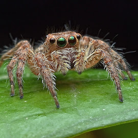 Jumping Spider by Herman Wong - Animals Insects & Spiders