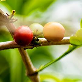 3 colors by Hartono Wijaya  - Novices Only Macro ( toraja, indonesia, fruits, coffee )