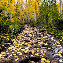 The Golden Path by Nathan Jesse - Nature Up Close Trees & Bushes ( fall, colorado, trees, aspens, leaves )