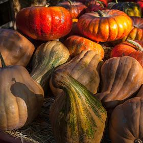 harvest squash pumpkin patch 003.jpg