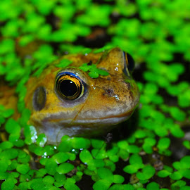 Frog in the Garden by Richard James - Animals Amphibians