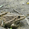 Indian Bullfrog