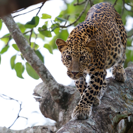 Leopard on a tree by Nimit Virdi - Animals Lions, Tigers & Big Cats ( shining coat, leopard )
