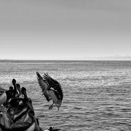 Perfect Landing by Fico Stein Montagne - Instagram & Mobile iPhone ( landing, iphone 5, pelikan, sea, muelle, mar, beach, aterrizaje, pelicano,  )