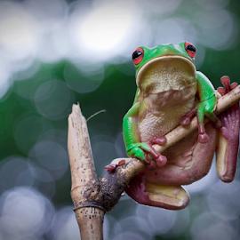 Watching... by Vincent Sinaga - Animals Amphibians ( watching, frog, green, amphibian, leaf frog )