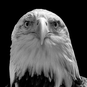 Hey You! by Ken  Frischkorn - Animals Birds ( bird, birds of pray., eagle, bald eagle, raptor )