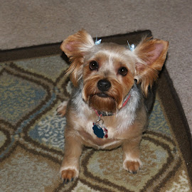 That Look by Richard  Friedle - Animals - Dogs Portraits ( dogs, yorkie, pets )