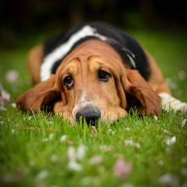The hound and the blossoms by Michael Hramiak - Animals - Dogs Portraits ( colour, cherry, bassett, hound, candid, pooch, dog, blossom, portrait )