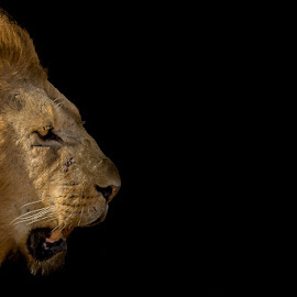 Into the darkness by Lourens Lee Wildlife Photography - Animals Lions, Tigers & Big Cats ( cats, lion, big cats, animals, wildlife, big5, africa, lourens lee )