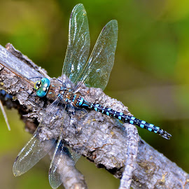 Wings by  J B  - Animals Insects & Spiders ( wings, oronata, large multifaceted eyes, predators, dragonflies )