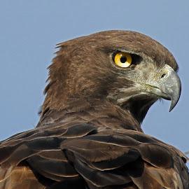 Martial Eagle in Profile by Anthony Goldman - Animals Birds ( bird, wild, predator, eagle, martial, ulusaba,  )