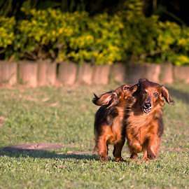 by Cezar Pegoraro - Animals - Dogs Playing