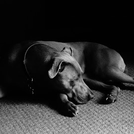 daisy dog  by John Knowles-smith - Animals - Dogs Portraits ( ambient light, black and white, dog )