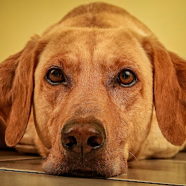 Yellow by Troy Wheatley - Animals - Dogs Portraits ( yellow, dog, lab )