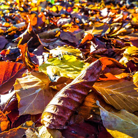 Fallen by Kerry Smith - Nature Up Close Leaves & Grasses ( colour, nature, autumn, fallen, leaves, fall, color, colorful )