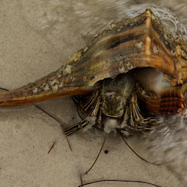 Hermit crab by Lisa Marie Pane - Animals Sea Creatures