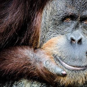 PX_Captive, Orangutan__140803_9124.jpg