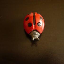 decoration object ladybug by Drago Ilisinovic - Novices Only Objects & Still Life ( ladybug.still life, decoration, object )
