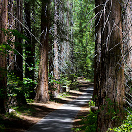 The tree path by Nicole Waggerman - Landscapes Forests ( pathway, trees, path, nature, landscape )