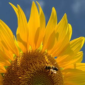 Sunflower by Kati Raileanu - Flowers Flowers in the Wild