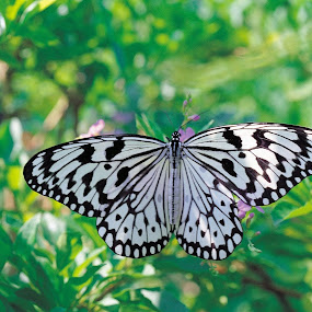 Zebra Butterfly by Cheryl Thomas - Animals Insects & Spiders ( butterfly, black & white, zebra, leaves, garden )