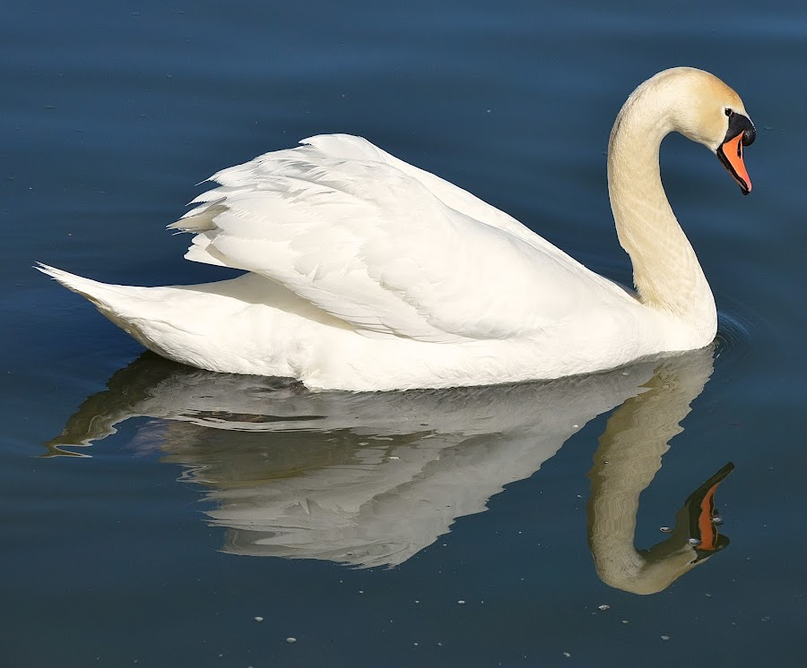Swan-derful Reflection by Ed Hanson - Animals Birds ( water, reflection, nature, swan, close-up )
