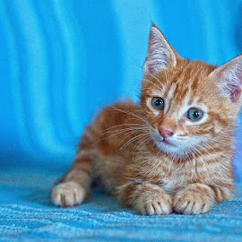by Miranda Legović - Animals - Cats Kittens (  )