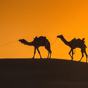 1998-04-00 IndThai57 F24 Indian Camels in Desert near Ja~0B6-Edit.jpg
