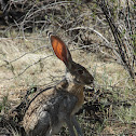 Black-tailed Jackrabbitt